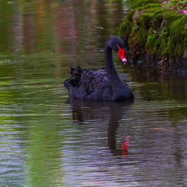 Swimming Swan by Kathy Suttles - Animals Other