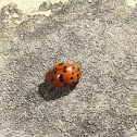 24-spotted Ladybird