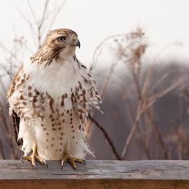 Immature Red Tailed Hawk  by Cheryl Fleishman - Animals Birds ( field, fence, birds of prey, talons, red-tailed hawk, wildlife refuge, oil city, marsh, raptor, immature, feathers, hawk )