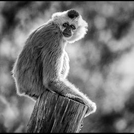 Monkey by Dave Lipchen - Black & White Animals ( monkey )