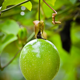 Passiflora edulis by Curly Yanni - Nature Up Close Gardens & Produce ( fruit, buah, markisa, passiflora, edulis, passion )