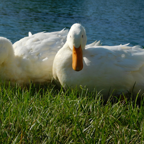 Couple of Ducks in the park. by TONY LOPEZ - Animals Birds ( park, sunset, beautiful, ducks, relaxing, evening,  )