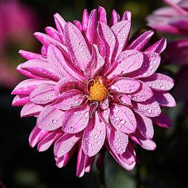Dahlia 8553~ 1 by Raphael RaCcoon - Flowers Single Flower
