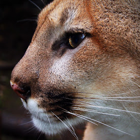 by John Ireland - Animals Lions, Tigers & Big Cats