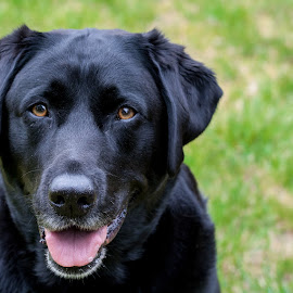 Waiting for treats by Lizzy MacGregor Crongeyer - Animals - Dogs Portraits ( loyal, hoping, waiting, pet, fur, best friend, dog, black, black labrador )