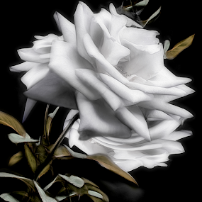 DOUBLE ROSE by Carmen Velcic - Digital Art Abstract ( abstract, white, roses, flowers, digital, soft )