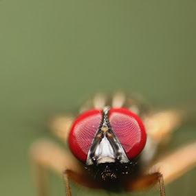 Housiefly by Gokul Rajenan - Animals Insects & Spiders ( #housefly #eyes #greenish #nature )