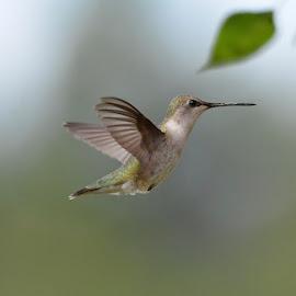 Hummingbirds 2016 by Michele Palmer - Animals Birds ( flight, birds, hummingbirds, hummer )