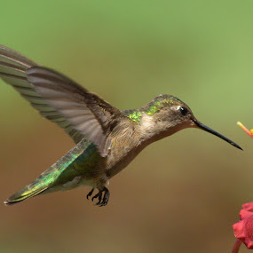 by Anita Frazer - Animals Birds ( bird, female, ruby-throated, animal,  )