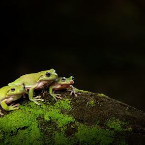 Legolas, Aragon and Gimli  by Andi Adinata - Animals Amphibians ( macro )