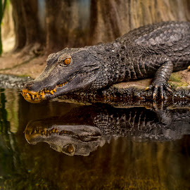 Mirror by Stanley P. - Animals Reptiles
