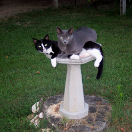 Here birdie, birdie,birdie by Randa Zenthoefer - Animals - Cats Playing ( cats, cat, cute cate, bird bath )