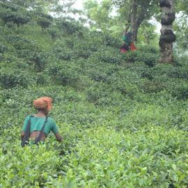 Gathering Tea Leaves. by Yaseer Arafat - Landscapes Travel