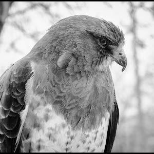Svenson Hawk-2.jpg
