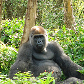 Lowland Gorilla by Christina McGeorge - Novices Only Wildlife ( gorilla,  )