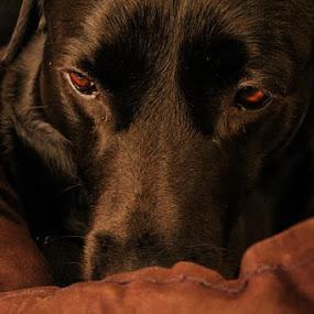 Think To Act by Meeta Thakur - Animals - Dogs Portraits ( labrador, photography, portrait, black,  )