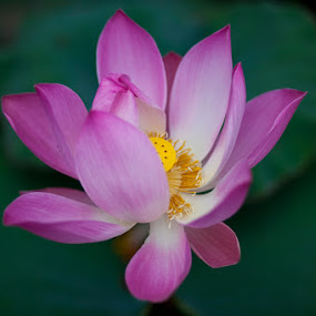 Lotus Flower by Peter Podolinsky - Nature Up Close Flowers - 2011-2013