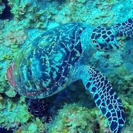Sea turtle by Dale Youngkin - Animals Sea Creatures ( hawksbill, puerto rico, desecheo island, reef, sea turtle )
