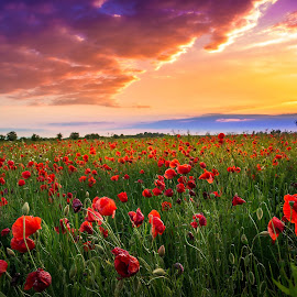 Poppies field by Luka Balković - Landscapes Prairies, Meadows & Fields ( countryside, colorful, land, beauty, landscape, blossom, sun, pasture, sky, nature, sunny, evening, light, flower, park, grass, dream, green, agriculture, horizon, poppy, sunlight, dusk, rural, field, dawn, red, season, blue, sunset, outdoor, background, meadow, scene, summer, cloud, view, sunrise, outside, floral )
