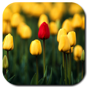Tulips Video Live Wallpaper