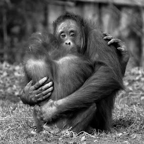 monkey, couples, lovers by Marek Biegalski - Animals Other
