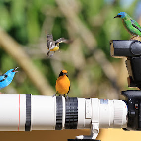 Watching!  by Itamar Campos - Animals Birds ( coereba flaveola;  and euphonia violacea ( male), dacnis cayana (male and female),  )
