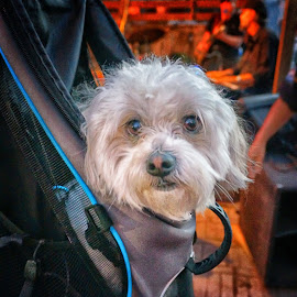 Ride Along Pup by Scott Walker - Animals - Dogs Portraits ( fluffy, ride along, back pack, puppy, cute, dog )
