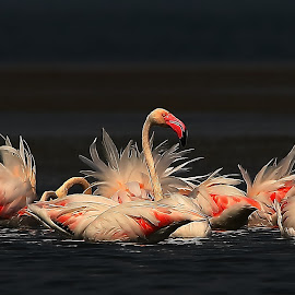 Magnificent Greater Flamingoes by Nikhil Jahagirdar - Animals Birds