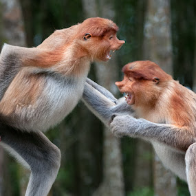 Probascis Monkey Fight by John Klingel - Animals Other Mammals