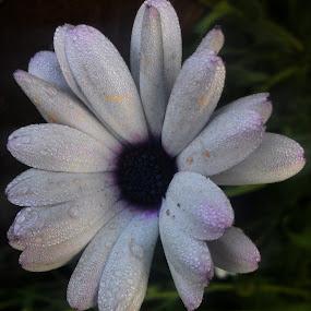 Dew drops on a flower  by Sidd Harth - Flowers Single Flower ( mobilography, fauna, dew drops, flower, purple flower )
