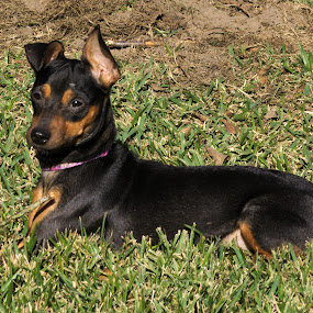 Bunt and her Stick by Kirk Barnes - Animals - Dogs Portraits ( outside, foster, minpin, dog, pet )