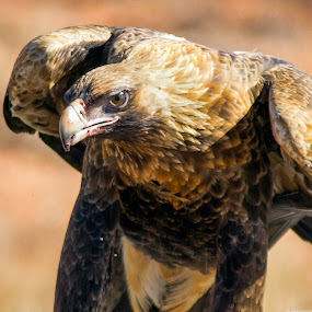 Wedge Tailed Eagle by Trevor Smart - Animals Birds ( bird, australia, wedge tailed eagle, raptor, northern territory,  )