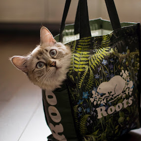 Lovely in The Bag by Ryan Li - Animals - Cats Portraits ( kitten, cat, bag, white, funny, lovely, interesting, animal )