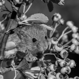 Mouse by Garry Chisholm - Black & White Animals ( mouse, macro, berry, nature, rodent, berries, mice, garry chisholm )