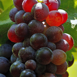 RIPE ! by Anoop Namboothiri - Nature Up Close Gardens & Produce ( wine, grapes, green leaves, vine, grapevine, reddish, ripe, anoop namboothiri, cultivation, close up, agricultural, produce )