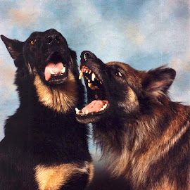 show us your teeth by Donna Racheal - Animals - Dogs Playing ( dogs, canines, dogs playing, german shepherd, show us your teeth,  )