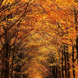 The corridor by Tazi Brown - Landscapes Forests ( autum, autumncolours, trees, forest, lane )