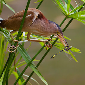 Yellow Bittern with Dragonfly by Howard Sheard - Animals Birds