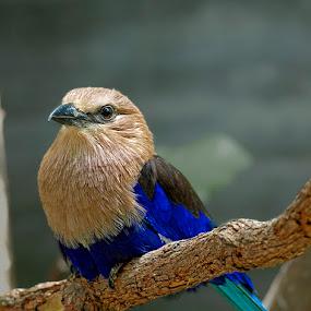 Scissortail by Khaled Ibrahim - Animals Birds