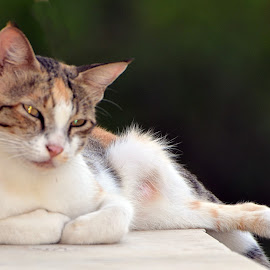 In contemplation by Pradeep Kumar - Animals - Cats Portraits