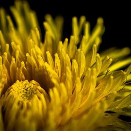 Dandelion Heart by Zeljko Vajak - Nature Up Close Other plants ( macro, dandelion, macro photography, yellow, spring, close up, flower )