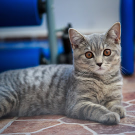 Tommy by Ionel Covariuc - Animals - Cats Kittens ( picture, cats, english hair, cat, kitten, portrait of cats, english short hair, domestic cat, animal )