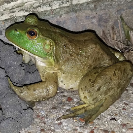 Female Bullfrog by Marie Burns - Animals Amphibians ( frog, female, bullfrog, green, texas )