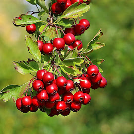 Berry Full by Chrissie Barrow - Nature Up Close Other Natural Objects ( fruit, red, nature, green, hawthorn, leaves, bokeh, closeup, berries )