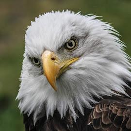 Inquisitive by Garry Chisholm - Animals Birds ( bird, garry chisholm, nature, bald eagle, wildlife, prey )