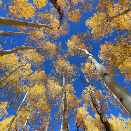 Aspens by Charles Kuster - Nature Up Close Trees & Bushes ( sky, tree, colorado, aspens )