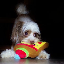 Peter Parker's New Toy by Cheryl Beaudoin - Animals - Dogs Playing ( new, parker, toy, pet, peter, yorkiepoo, dog, puppy eyes,  )