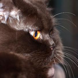 British... by Aleksander Cierpisz - Animals - Cats Portraits