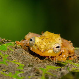 by Eko Probo D Warpani - Animals Amphibians ( animals, macro, color, indonesia, nikkor, nikon, animal )