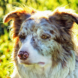 Lariat - Border Collie - 2427 by Twin Wranglers Baker - Animals - Dogs Portraits (  )